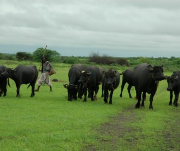 buffalo-by-michael-rapar-bhuj-222