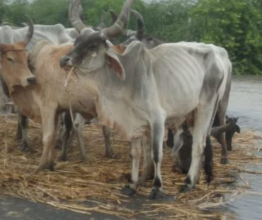 Situation of Animals - Gujarat Flood 2017 - MARAG
